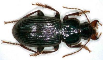 Una nueva especie de escarabajo apellidado López